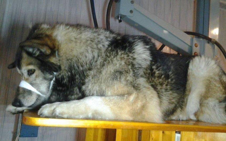 Необычный пациент: раненная собака сама пришла в больницу