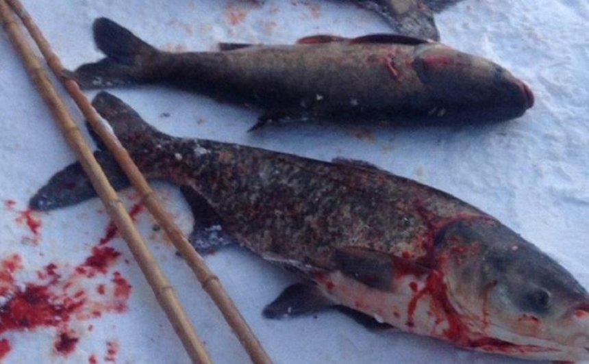 В озере на Позняках задыхается рыба (фото, видео)