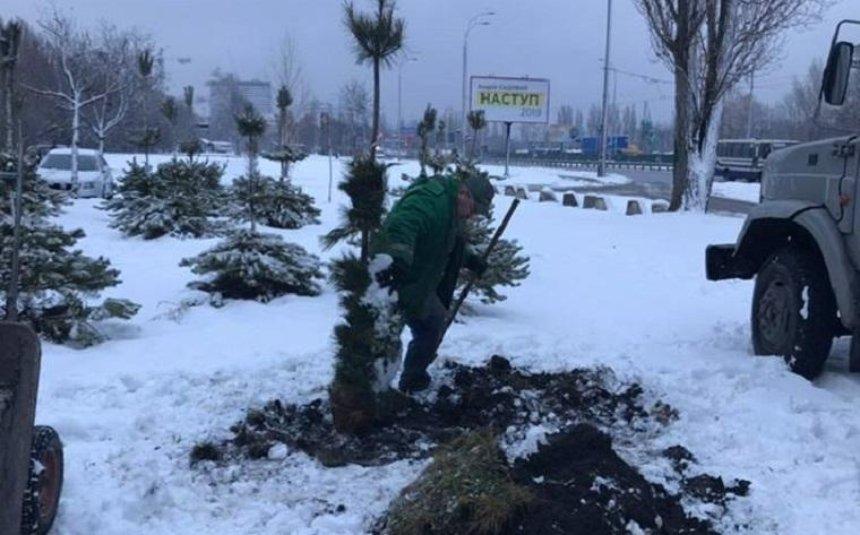 В Голосеевском районе будут расти гималайские сосны (фото)