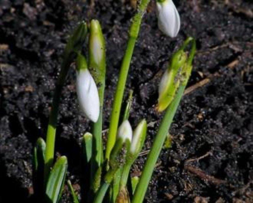 """Киев получил """"тепловой удар"""": во дворах уже цветут подснежники (фото)"""