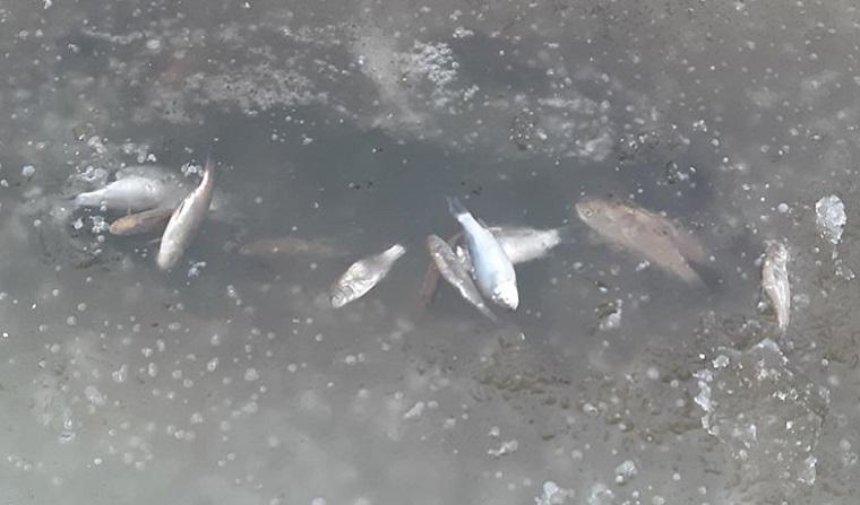 В реке под Киевом массово гибнет рыба (фото, видео)