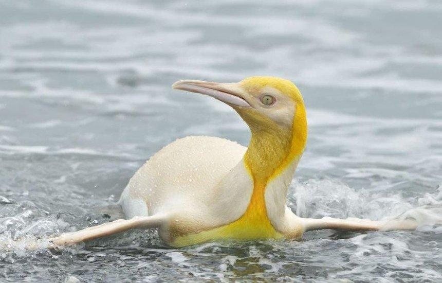 На пляже в Атлантике нашли желтого пингвина: как он выглядит