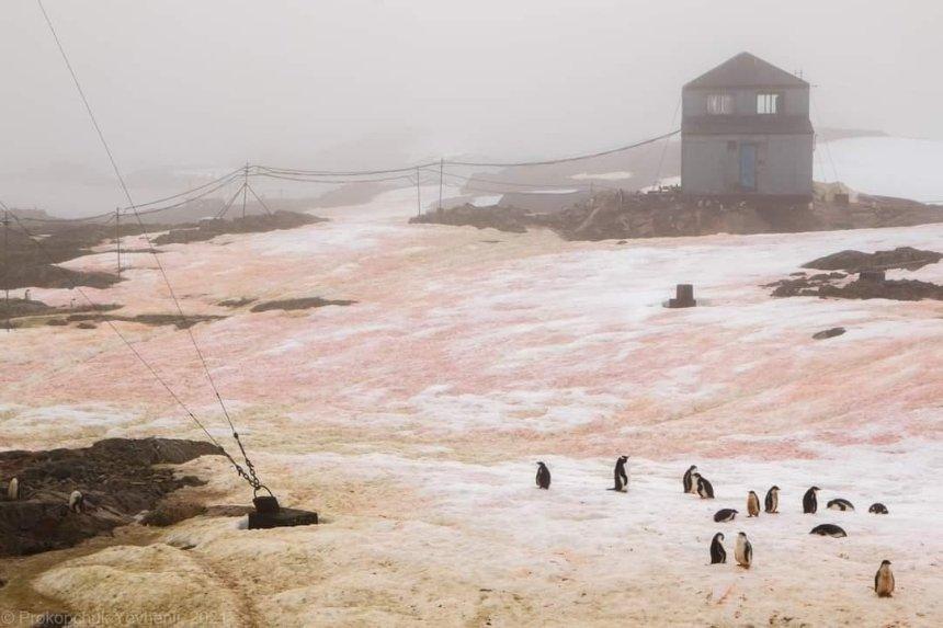 Малиновый изеленый: вАнтарктиде «зацвел» снег