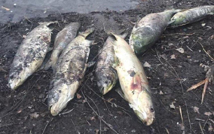 На Русановском озере массово гибнет рыба (фото, видео)