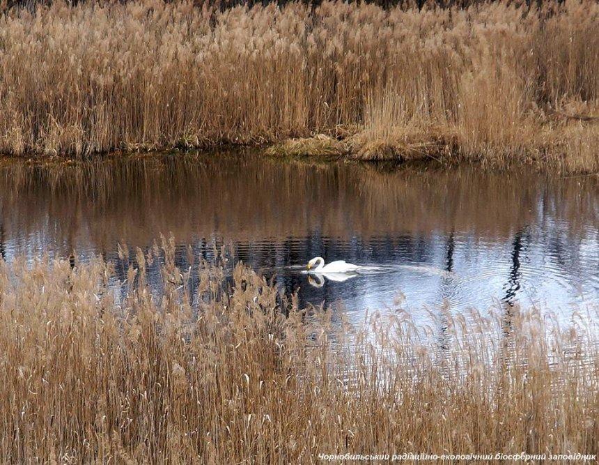 На территории ЧАЭС нашли убежище лебеди-кликуны