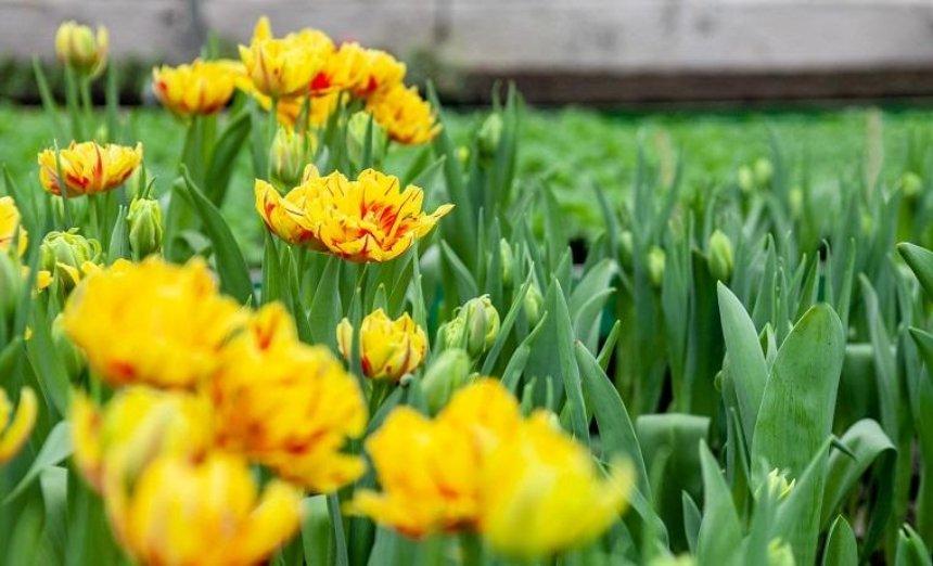 На столичных улицах расцветут 8 миллионов цветов (фото)