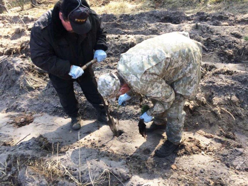 Под Киевом высадили 4000 сосен