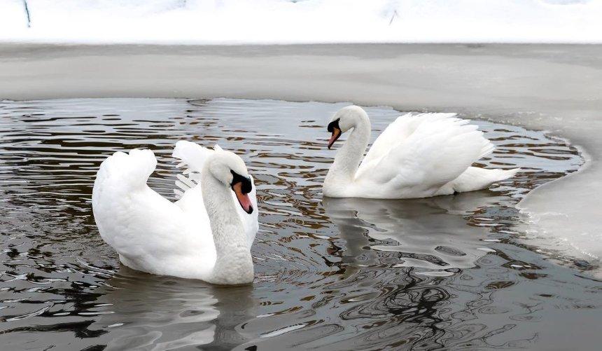 ВКиевской области спасатели освободили из ледяного плена стаю лебедей