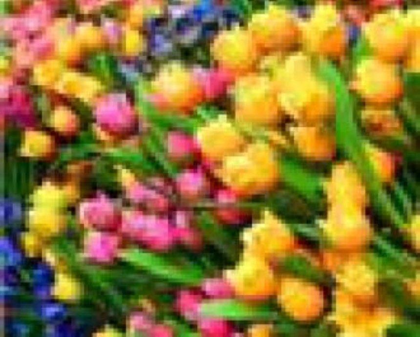 Киевлян приглашают на городскую выставку тюльпанов