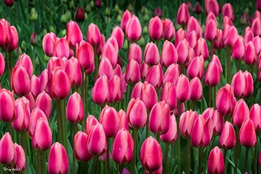 На Певческом поле пройдет большая выставка тюльпанов
