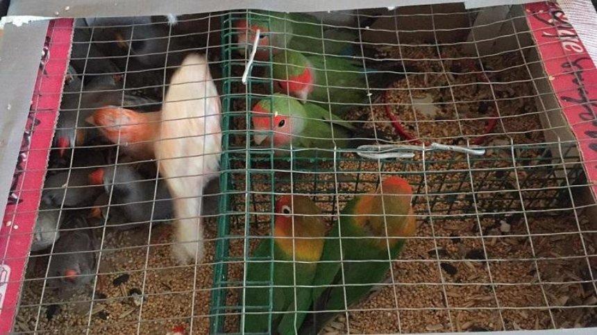 Мужчина пытался перенести через границу в Беларусь 150 попугаев (фото, видео)
