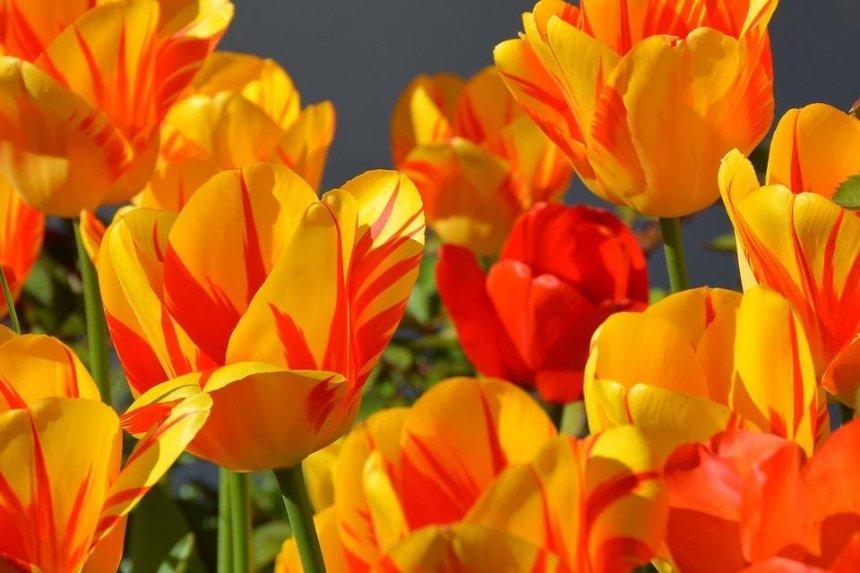На Певческом поле перенесли выставку тюльпанов «Сказки мира»