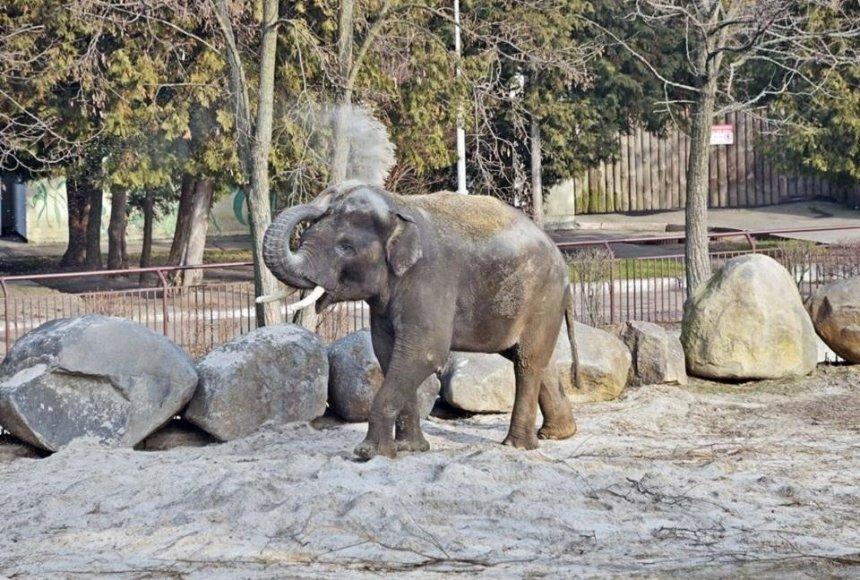 За слоном в Киевском зоопарке можно наблюдать онлайн
