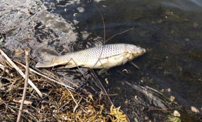 В Киевской области обнаружили много мертвой рыбы