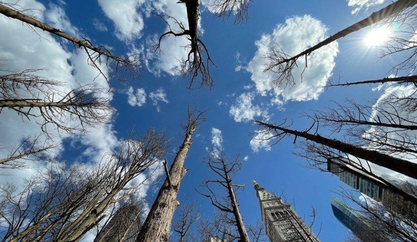 В Нью-Йорке открылась инсталляция «Призрачный лес» из 49 мертвых деревьев