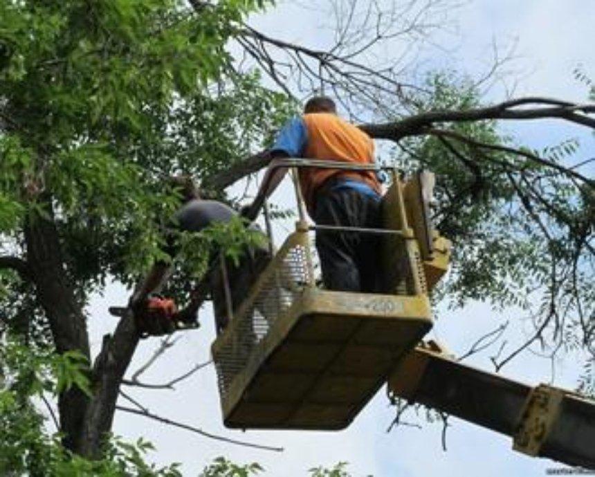 О древах познания: как в Киеве спилить аварийное дерево и посадить новое