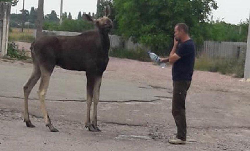 Напоили водой и отпустили: под Киевом встретили дикого лося (фото)