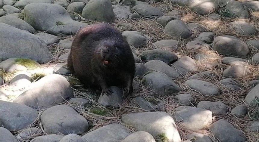Под Киевом спасли бобров, упавших в пустой бассейн