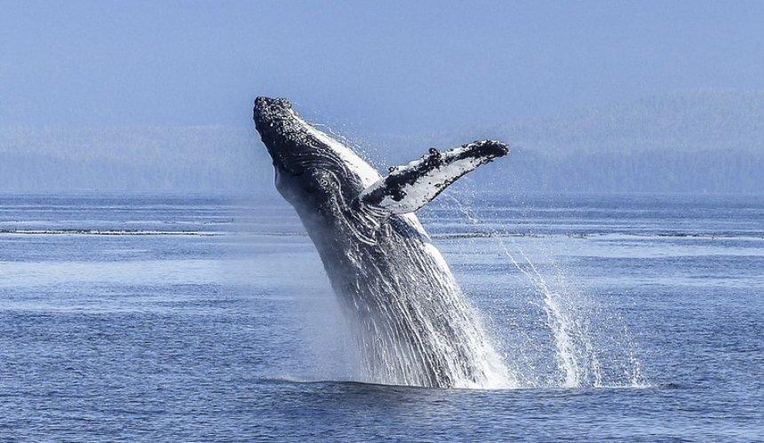 В США ныряльщика заглотил кит: мужчине удалось спастись