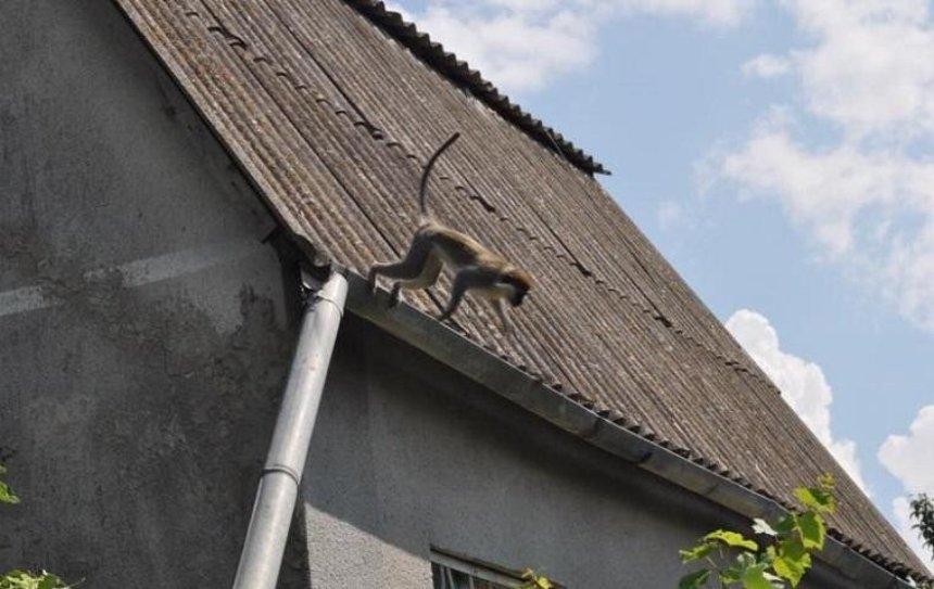 В Украине стая обезьян грабит дачников (фото)