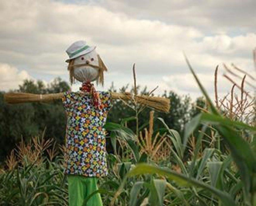 В Пирогово открывается оргомный лабиринт в кукурузе (фото)