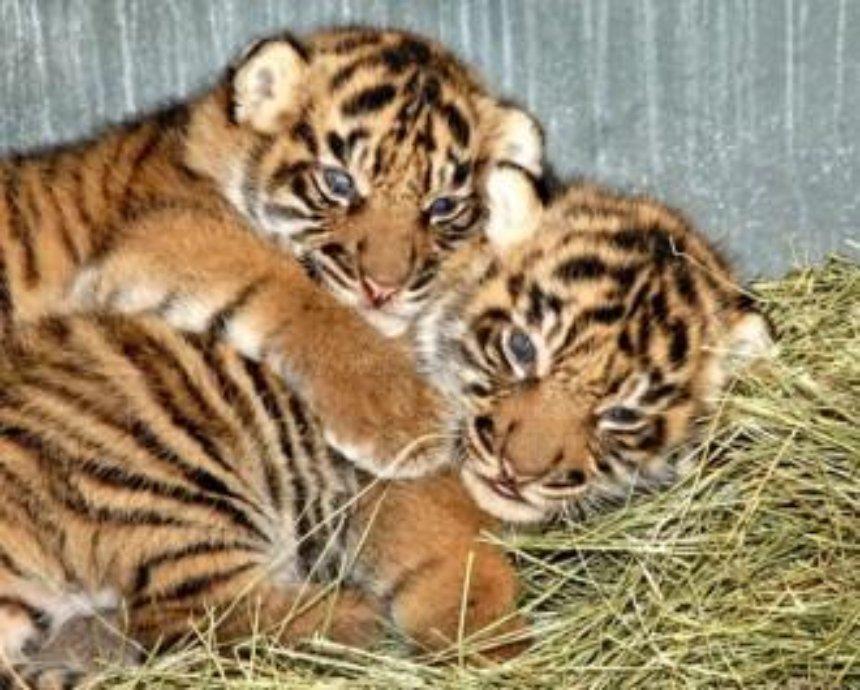 В столичный зоопарк вернулись тигрята, которых считали пропавшими