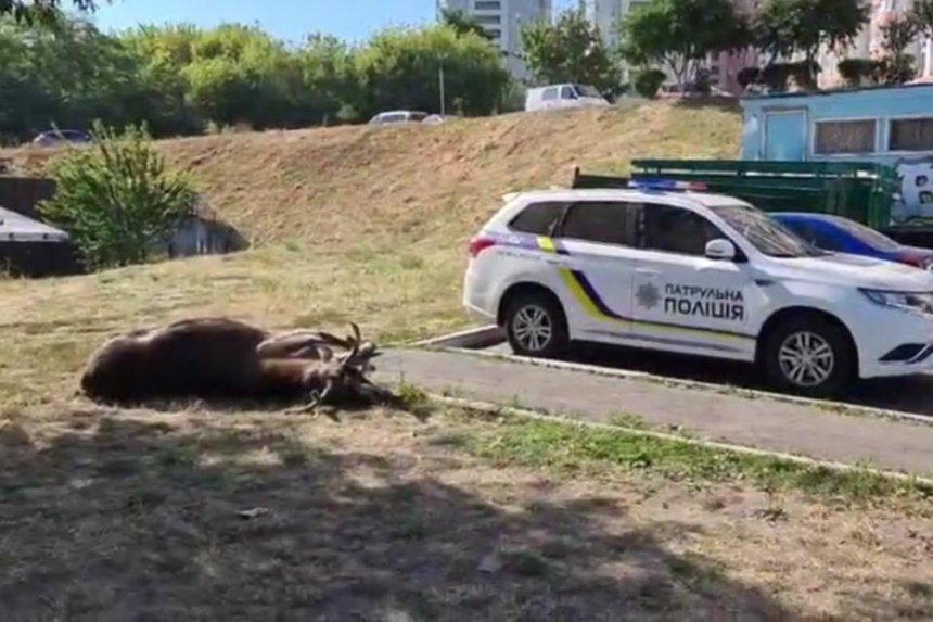 В Голосеевском районе сбили лося, который часто гулял по столичным улицам
