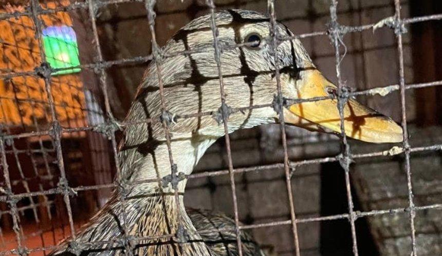 Зоозащитники спасли утку, которую держали вкиевском пабе