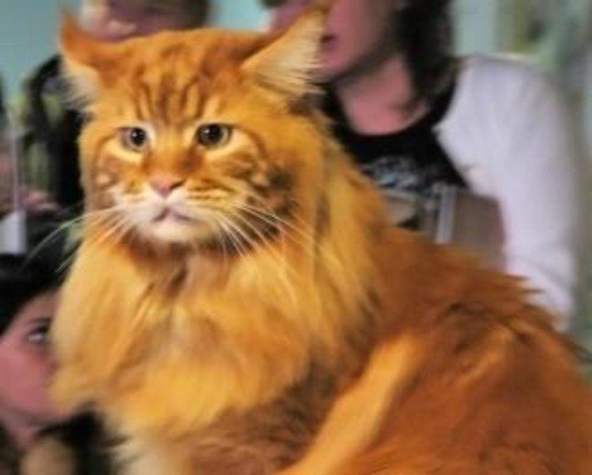 Наче сир у маслі: як живе найбільший кіт України