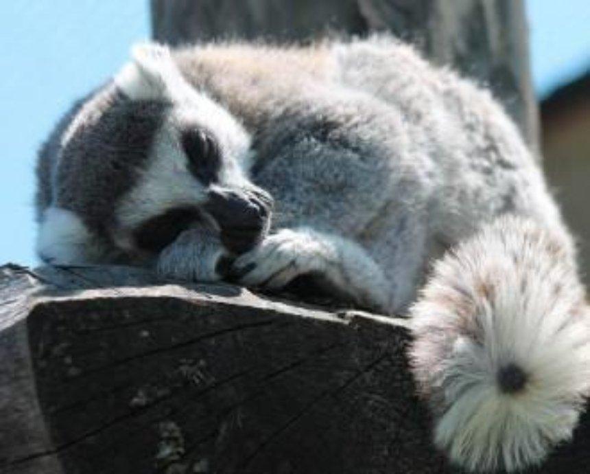 Как спят лемуры: в киевском контактном зоопарке поставили вэб-камеру