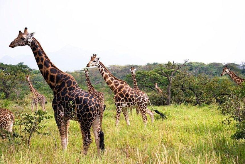 Взоопарке Франции впервые за30лет родился жирафенок породы «Ротшильда»