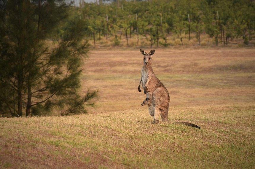 ВКиевской области второй месяц ищут пропавшего кенгуру