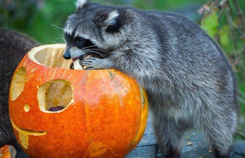 Зверская утилизация: зоопарк в Межигорье собирает тыквы для своих обитателей