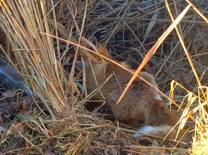 На Київщині лисеня врятували з пастки браконьєрів (фото)