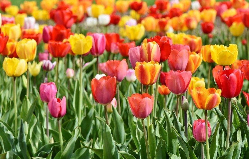 Подарок от Нидерландов: в центре Киева высадят 100 тысяч тюльпанов