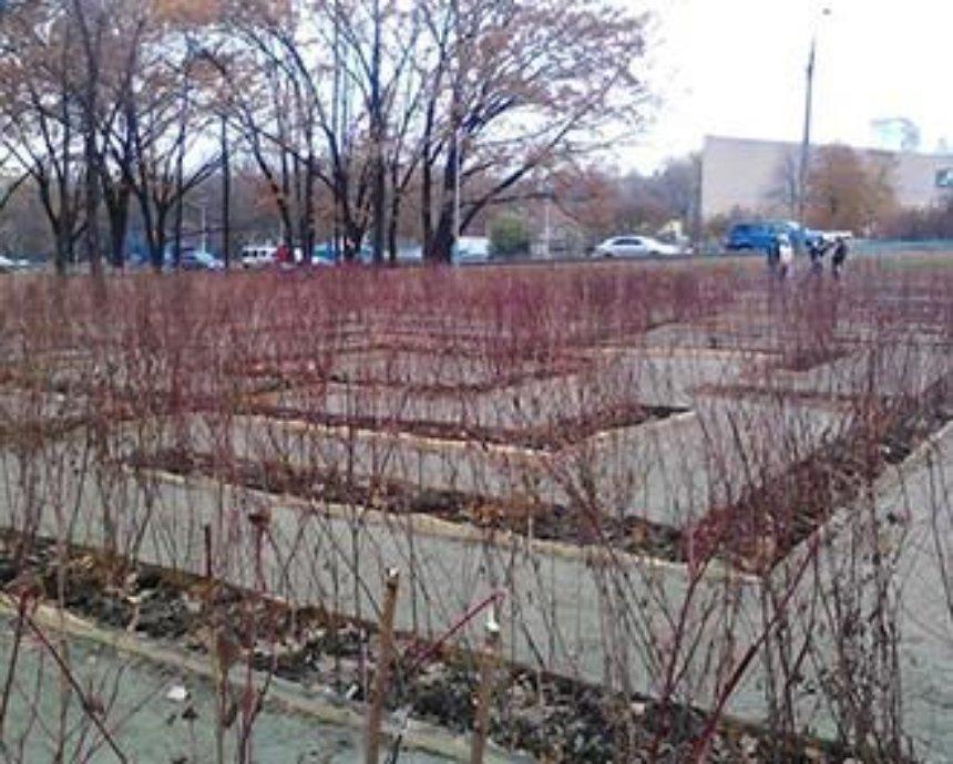 """В киевском парке высадили кусты для """"зеленого лабиринта"""" (фото)"""