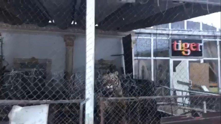 По колена в грязи: в заброшенном клубе Киева обнаружили шесть тигров (видео)