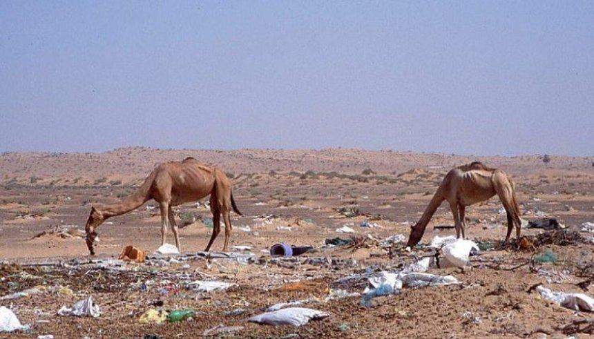 ВДубае сотни верблюдов наелись отходов изпластика иумерли впустыне