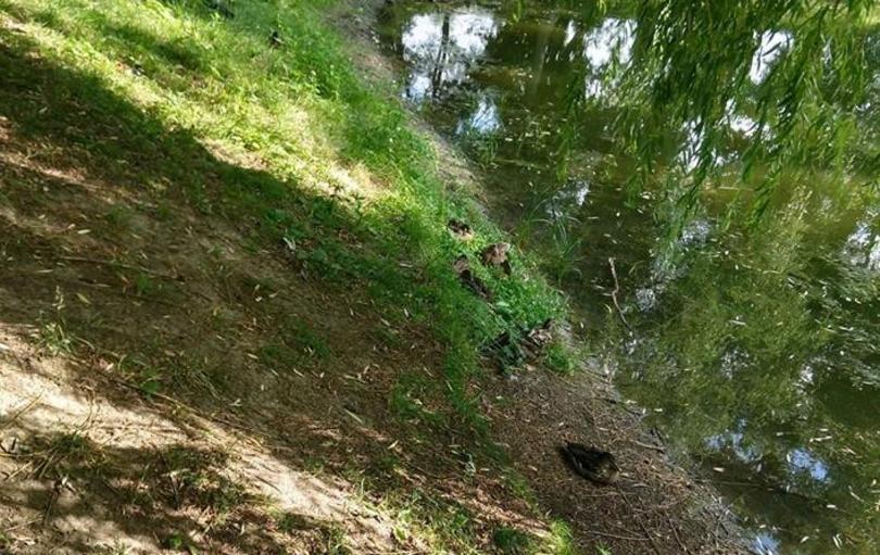 Чиновник прокоментував масову загибель качок на Теремках