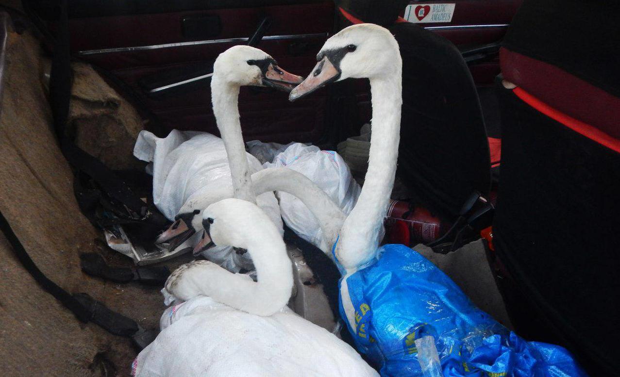 На Киевщине спасли испачканных нефтепродуктами лебедей (фото)