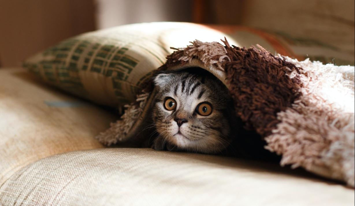 В Канаде выпустили приложение, определяющее самочувствие котов