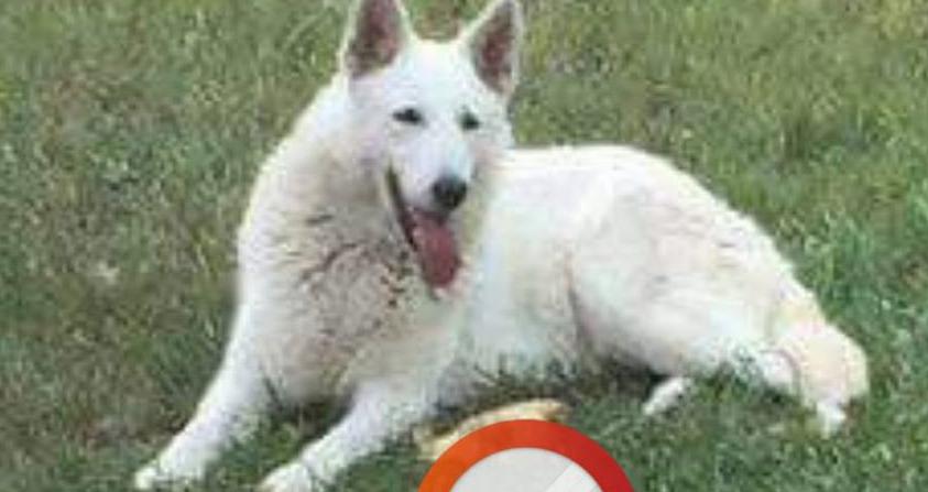 В Киеве пропала белая овчарка с умными глазами