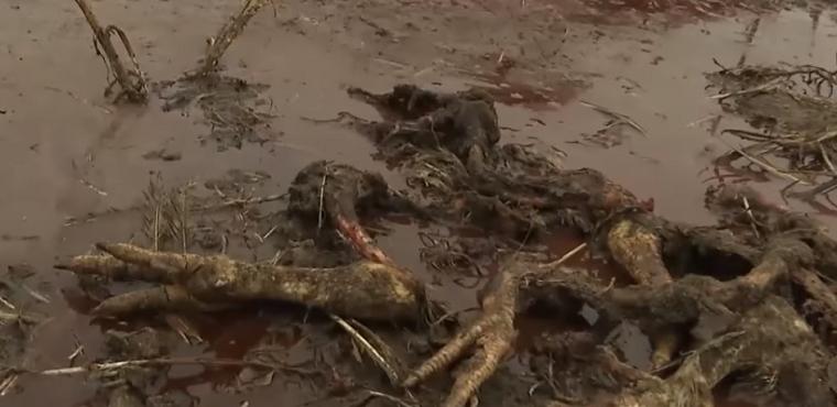 В поле під Києвом викинули 160 тонн гнилої курятини (відео)