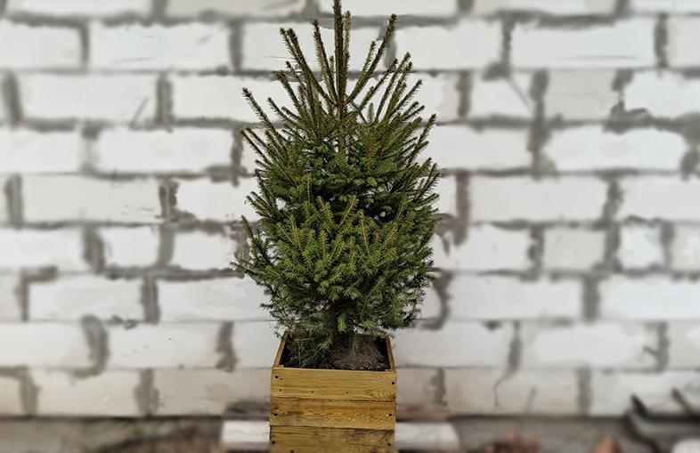 Киевлянам предлагают украшать живые елки, которые потом можно высадить